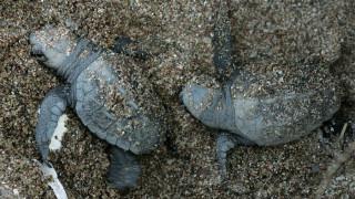 Τα πρώτα χελωνάκια καρέτα-καρέτα στην Κρήτη