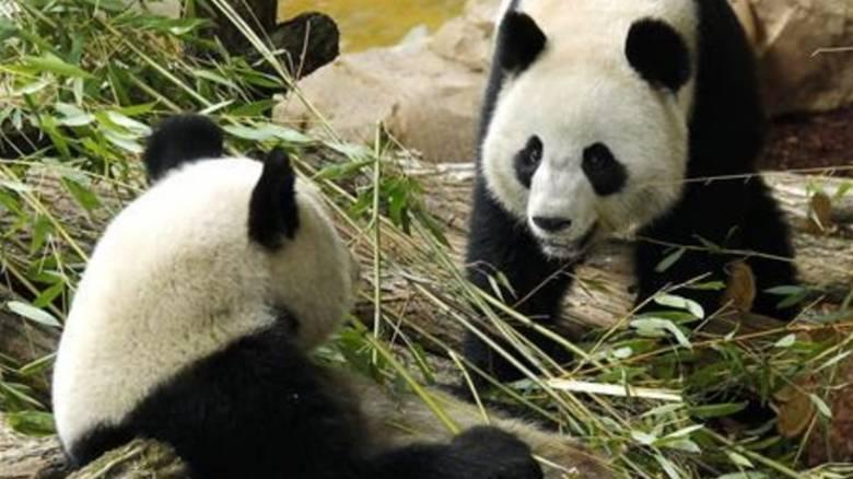 Κίνα: Δίδυμα γέννησε 23χρονο πάντα στη νοτιοδυτική επαρχία Σιτσουάν