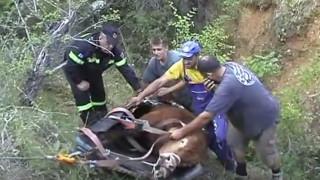Πυροσβέστες απεγκλώβισαν ταύρο από χαράδρα βάθους 80 μέτρων (vid)
