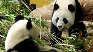 Πέθανε ένα από τα δίδυμα που γέννησε η Χουάν Χουάν του ζωολογικού κήπου του Μποβάλ