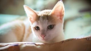 Γιατί οι γάτες γουργουρίζουν και τι θέλουν, όταν νιαουρίζουν;
