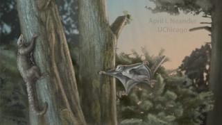 Βρέθηκαν τα αρχαιότερα θηλαστικά - αιωροπτεριστές