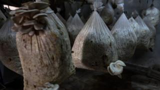 Συρία: Με μανιτάρια «πολεμούν» την έλλειψη τροφίμων (pics&vid)