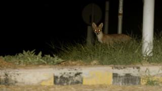 Τρία αλεπουδάκια σαν... κατοικίδια σε χωριό στην Χαλκιδική (pics)