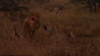 Η υπερηφάνεια της μητέρας: Όταν μια λιονταρίνα προστατεύει το μικρό της από λιοντάρι (vid)