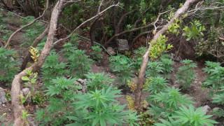 Ρέθυμνο: Φυτεία με δενδρύλλια κάνναβης εντοπίστηκε σε ορεινή δασώδη περιοχή