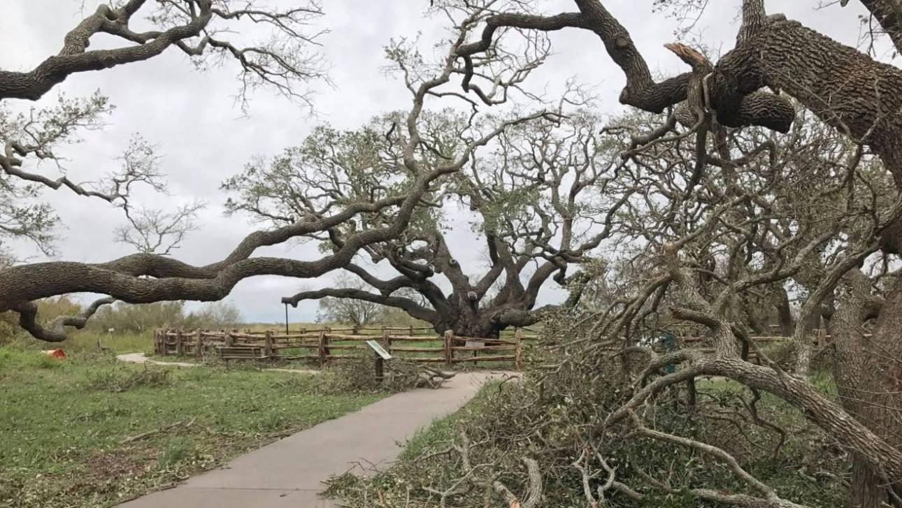 Τέξας: Ένα δέντρο 1.000 ετών κατάφερε να επιβιώσει από τον τυφώνα Χάρβεϊ (pic)