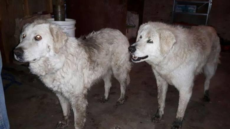 Καναδάς: Δύο τσοπανόσκυλα προστάτεψαν κοπάδι προβάτων από τις καταστροφικές πυρκαγιές