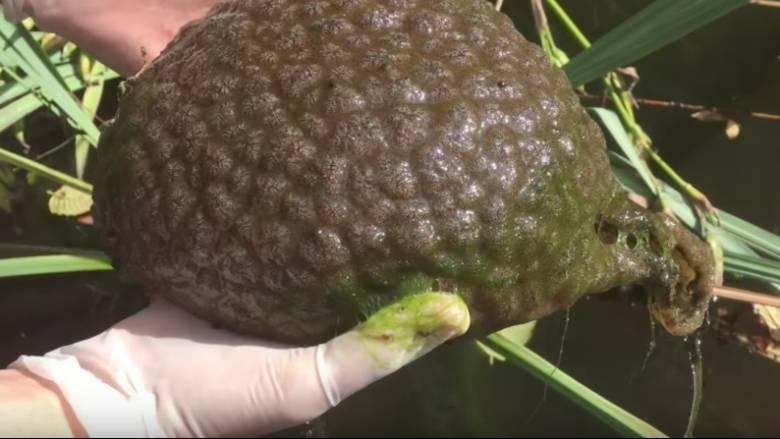 Απόκοσμο μυστηριώδες πλάσμα που μοιάζει με εγκέφαλο εντοπίστηκε σε λιμνοθάλασσα του Καναδά (Pic)