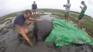 Ίρμα: έσωσαν μανάτο που είχε κολλήσει εκεί που τραβήχτηκε η θάλασσα (pics&vid)