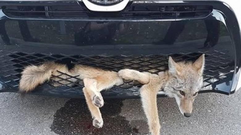 Κογιότ διένυσε 34 χιλιόμετρα εγκλωβισμένο στο αυτοκίνητο που το χτύπησε (pics+vid)