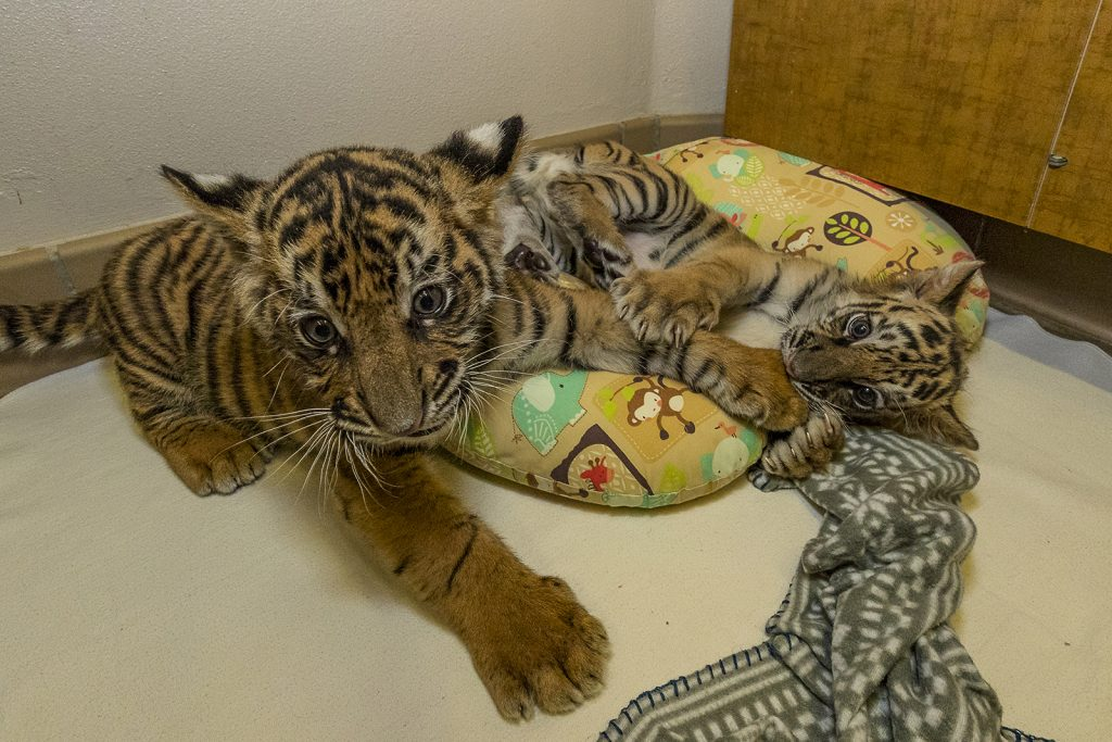 TigerTwo 006 Med 1024x683