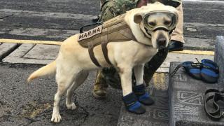 Frida: Το λαμπραντόρ που σώζει ζωές στο Μεξικό (Pics+Vid)