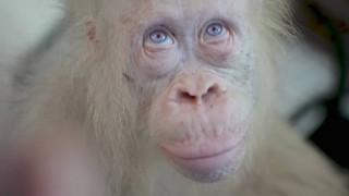 Alba: Ο αλμπίνο ουρακοτάγκος που ζει σε ημιάγρια κατάσταση (vid)