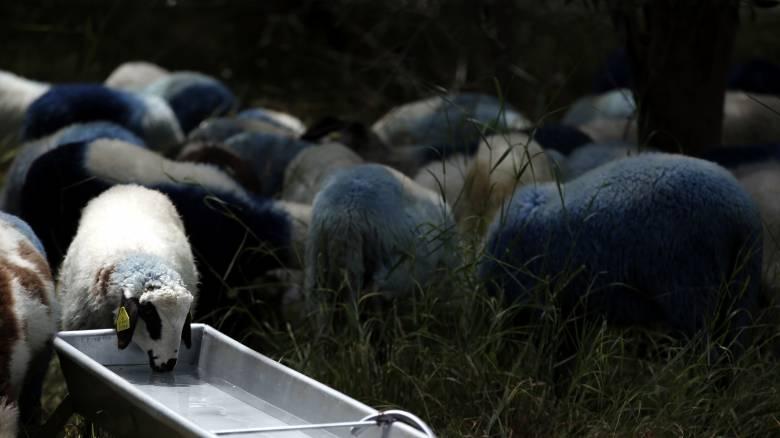 Νέα κρούσματα ευλογιάς αιγοπροβάτων στη Μυτιλήνη