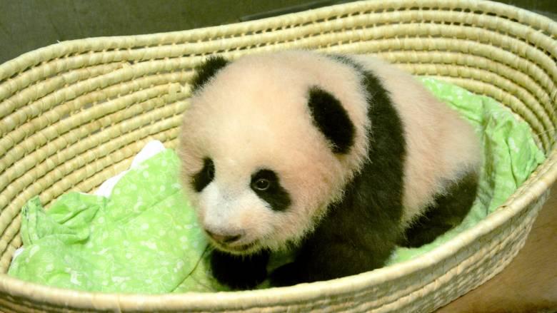 Αυτή είναι η Σιάνγκ Σιάνγκ, το μωρό πάντα της Ιαπωνίας (pics)