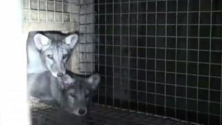Αλεπούδες φυλακισμένες σε κλουβιά σε αγρόκτημα της Πολωνίας σκοτώνονται για την γούνα τους (Vid)