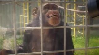 Ζηλιάρης χιμπατζής επιτέθηκε σε υπάλληλο ζωολογικού κήπου που φλέρταρε με την Ιουλιέτα του