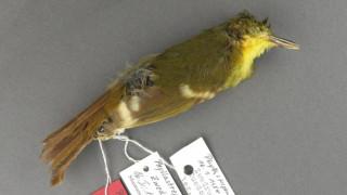 Επιστήμονες συνειδητοποίησαν ότι το πιο σπάνιο πουλί του κόσμου δεν υπήρξε ποτέ (pic)