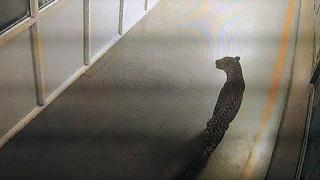 Ινδία: Λεοπάρδαλη επί 36 ώρες έκοβε βόλτες μέσα στο εργοστάσιο της Maruti Suzuki (Vid)