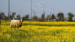 Πρόβατο... «μπούκαρε» σε γήπεδο ποδοσφαίρου στα Τρίκαλα (vid)