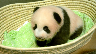 «Panda Boom»: Ρεκόρ στις γεννήσεις γιγαντιαίων πάντα στην Κίνα φέτος