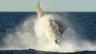 Μαθήματα «συγχρονισμένης κολύμβησης» από φάλαινες (vid)