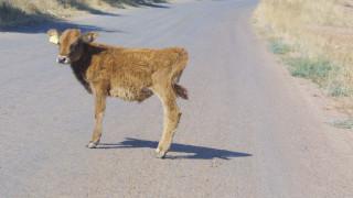 Ιωάννινα: ΙΧ συγκρούστηκε με... αγελάδα