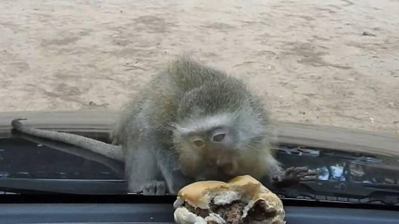Η μικρή μαϊμού που προσπαθεί να κλέψει ένα μπέργκερ (vid)