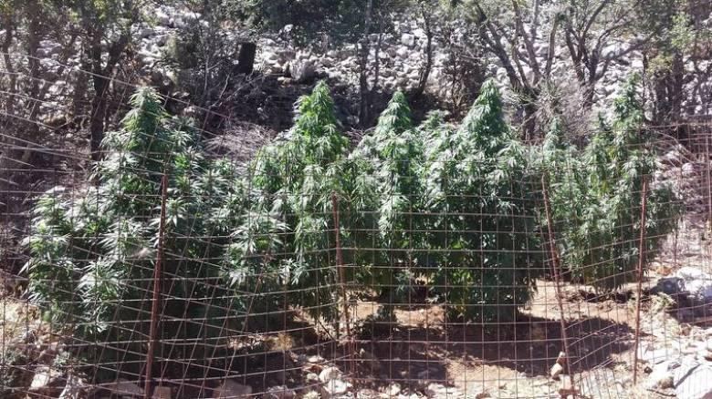 Σπείρα καλλιεργούσε δενδρύλλια κάνναβης κοντά στα Ιωάννινα