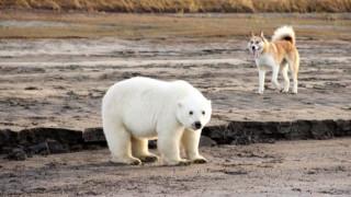 Η περιπλάνηση μιας νεαρής πολικής αρκούδας πολύ μακριά από την Αρκτική (pics)