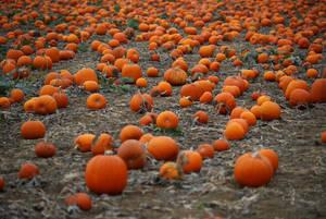 Σε ένα χωράφι με κολοκύθες ενόψει Halloween