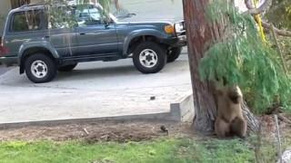 Αρκουδάκι βγήκε βόλτα στο Λος Άντζελες και παίζει στην αυλή σπιτιού (vid)