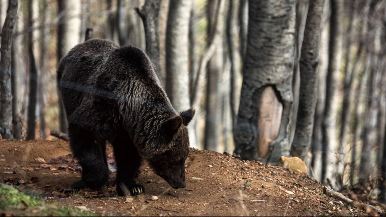 Και τρίτο αρκουδάκι σκοτώθηκε στο Κλειδί Αμυνταίου (pics)