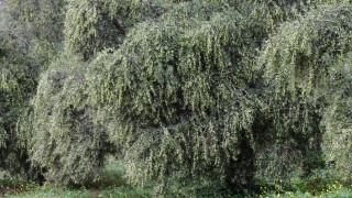 Χαλκιδική: Εξαρθρώθηκε κύκλωμα που έκλεβε… ελιές