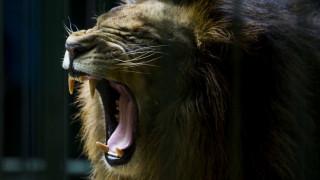 Η μάχη δύο λιονταριών για τα... μάτια μιας λέαινας (vid)