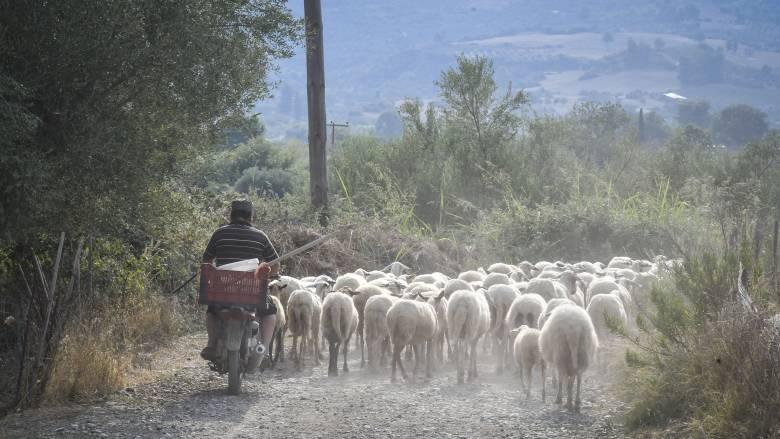 Σε κατάκταση έκτακτης ανάγκης η Μυτιλήνη λόγω επιδημίας ευλογιάς στα πρόβατα