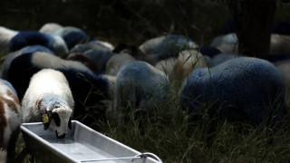 Επιδημία ευλογιάς στη Μυτιλήνη: Σε απόγνωση οι κτηνοτρόφοι