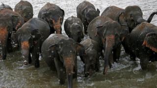 «Άδεια μητρότητας» για ελέφαντες στο Λάος...