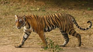 Ρωσία: Υπάλληλος ζωολογικού κήπου δέχθηκε επίθεση από τίγρη