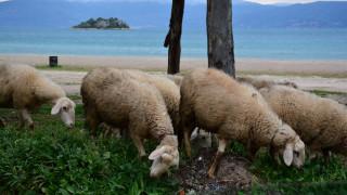 Πώς τα πρόβατα αναγνωρίζουν πρόσωπα ανθρώπων από φωτογραφίες