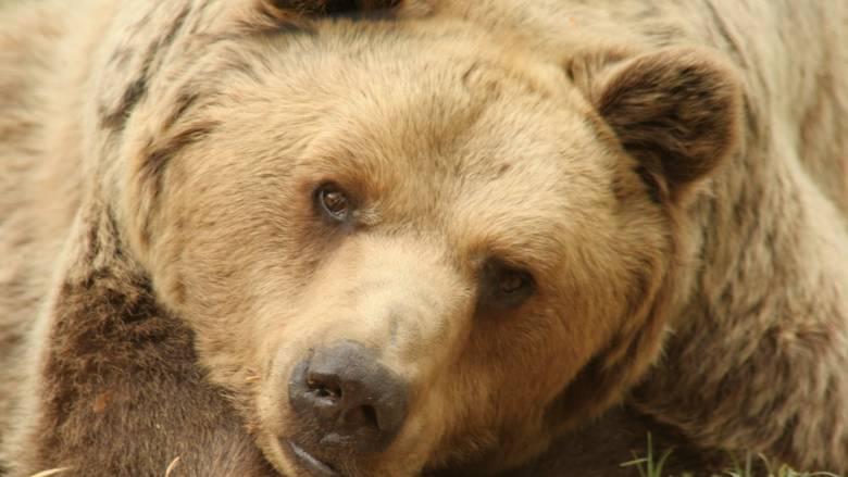 Πέθανε ο αρκούδος «Μήτσος», γνωστός και ως «δραπέτης»