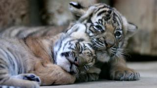 Νεογέννητα τιγράκια Μαλαισίας στον ζωολογικό κήπο της Πράγας