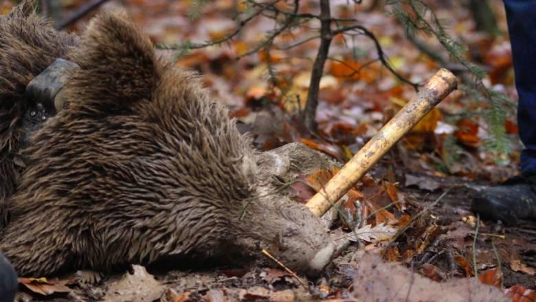 Διασώθηκε αρκούδα που είχε πιαστεί σε παράνομη παγίδα για αγριογούρουνα (pics)