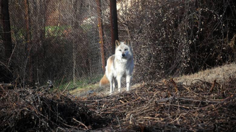 Αναστάτωση στην Ξάνθη: Λύκοι κατασπαράζουν κυνηγόσκυλα (pics)