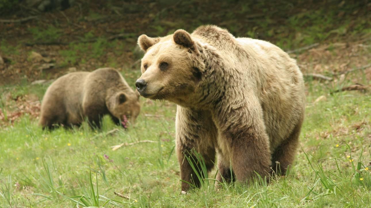 Αρκούδα πάτησε και σκότωσε ηλικιωμένη – Δεν παίρνουν αποζημίωση οι συγγενείς