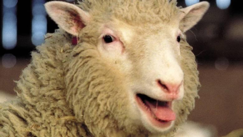 Ανατρεπτική έρευνα για την Ντόλι το πρόβατο - Δεν είχε πρόωρη αρθρίτιδα