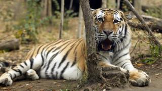 Παρίσι: Πυροβόλησαν τίγρη που το «έσκασε» από τσίρκο