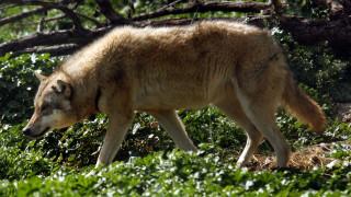 Η οργάνωση Καλλιστώ διαψεύδει δημοσιεύματα σχετικά με επιθέσεις λύκων σε σκύλους