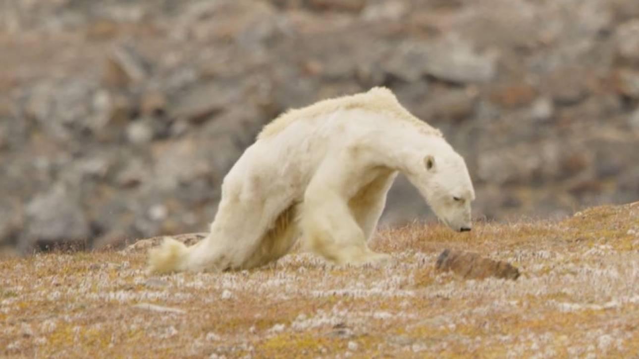 Μια αποστεωμένη πολική αρκούδα «βαδίζει» προς το θάνατό της (vid)